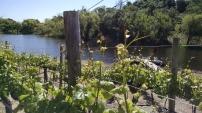 Pinot Noir, Russian River Valley