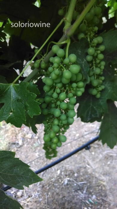 grapes may 2014