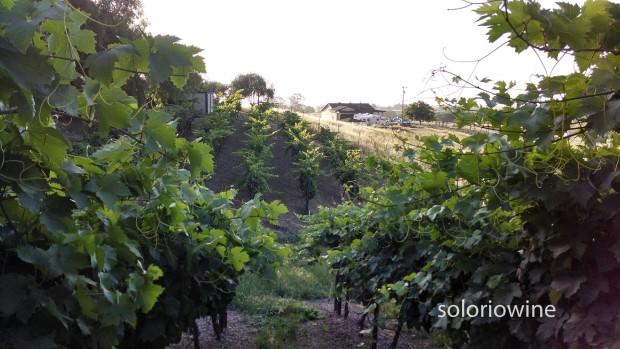 in the vineyard jungle