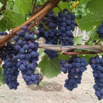 Russian River Valley Fruit